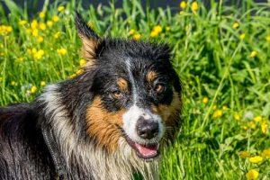 Tara, de australian shepherd.